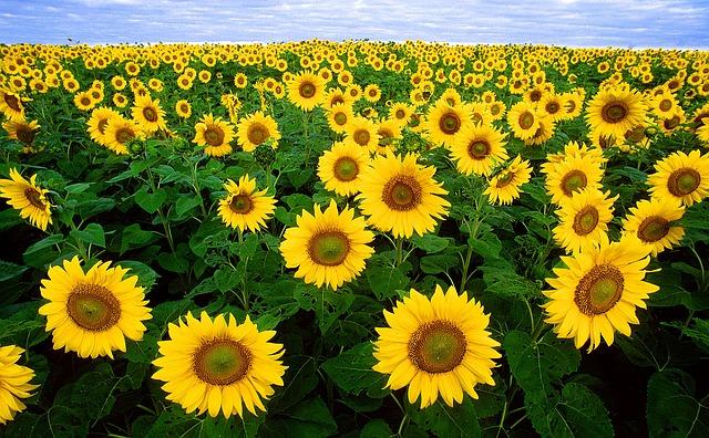 slunečnicové pole.jpg